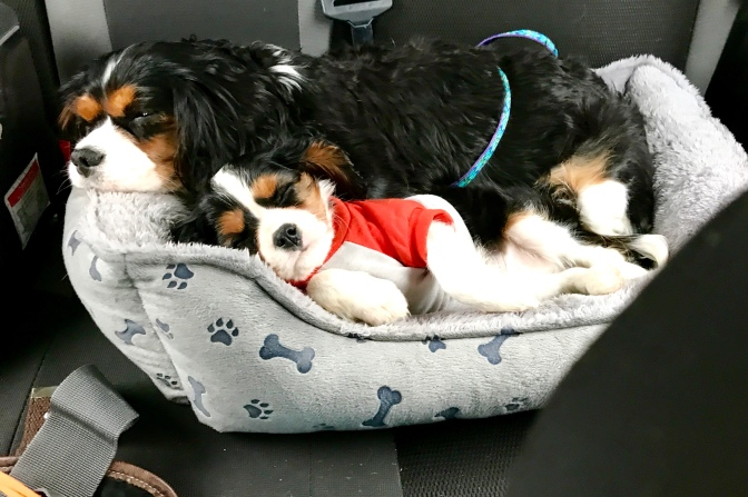 Rescue Cavalier's Callie and Charlie snuggle