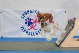 Nellie at flyball