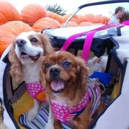 Stroller dogs in pumpkin patch